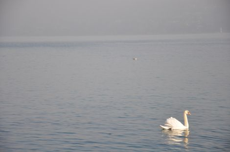 Swan and the lake. Magic. Fotografía de/ por Rocío Pastor Eugenio. WOMANWORD More about Geneva's Lake #travel with WOMANWORD #geneva #switzerland  Pictures by Rocío Pastor Eugenio. All Rights Reserved