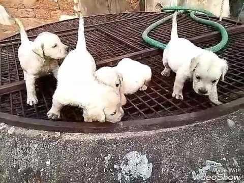 Labrador Retriever Puppies Kerala 5000 Labrador Puppy S