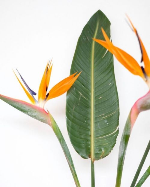 Bird Of Paradise Complete Care Guide That Planty Life In 2020 Birds Of Paradise Plant Birds Of Paradise Birds Of Paradise Flower