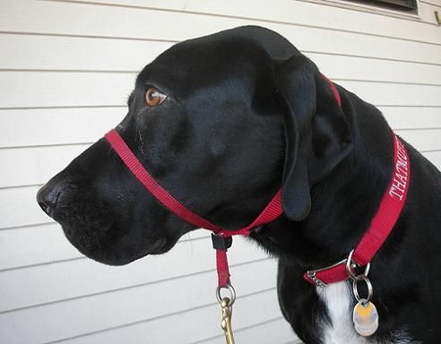 Why I Use A Head Collar For Dogs Halti Or Gentle Leader Thatmutt Com Gentle Leader Aggressive Dog Dog Training Collar