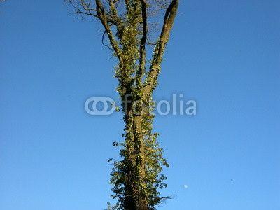 Alter Baum im Weberpark vor blauem Himmel in Oerlinghausen bei Bielefeld in Ostwestfalen-Lippe