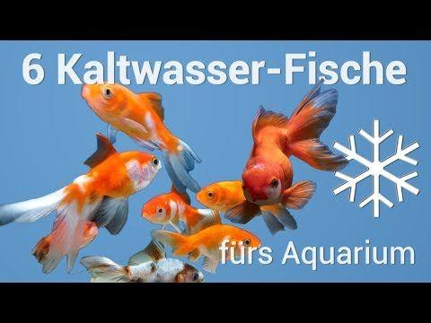 6 Fische Furs Kaltwasseraquarium Youtube Aquarium Goldfisch Aquarium Fische