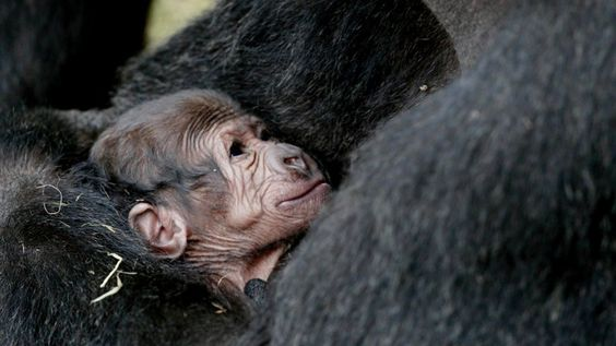 Baby+Gorilla+Dublin.jpg (970×546)