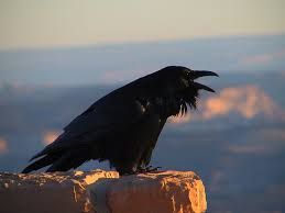 Image result for corvus