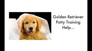 Train A Golden Retriever Puppy Golden Retriever Training Dogs