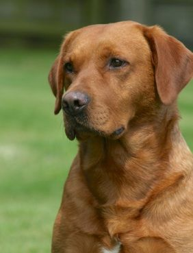 Fox Red Labrador - Jessie this is what a red lab looks like Herky is such a vezlah. How do you spell vezhla?