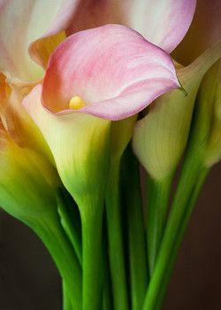 studioview:  Calla Lilies by LauriePix1 on Flickr.