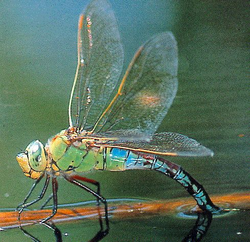 Introduction to the Odonata: Dragonflies and Damselflies Beneficial Insects...