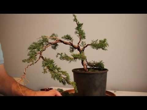 Juniper Bonsai Initial Styling Time Lapse Shimpaku Youtube Juniper Bonsai Bonsai Pre Bonsai