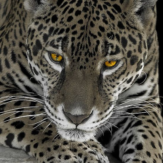 Yellow Jaguar Animal: Golden Eye Leopard (is This The Inspiration For The 007