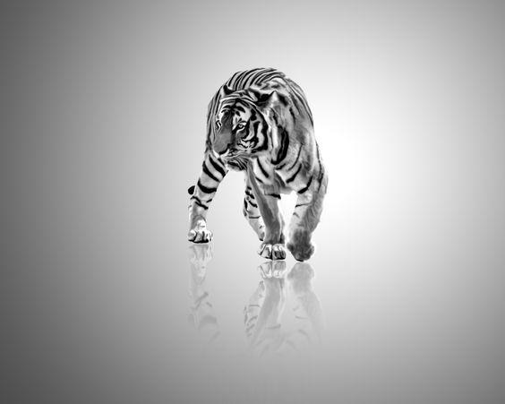 Google Image Result for http://www.deviantart.com/download/42470408/Tiger__black_and_white_by_tompot.jpg