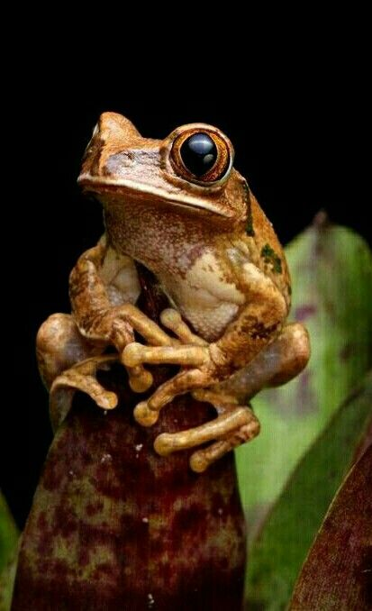 Marbled Tree Frog Frog Pictures Tree Frogs Red Eyed Tree Frog