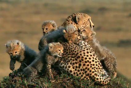 African Cats - Cheetahs