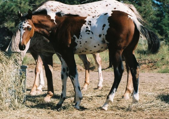 """This filly is NOT a """"Pintaloosa"""", she was tested for the tobiano gene when born.  She is from generations of appaloosa and came out uniquely marked.  And was registered by her Montana owner as Uniquely Destined."""