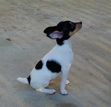 toy fox terrier | Foxhill Toy Fox Terriers - To Have & To Hold - Love for a Lifetime