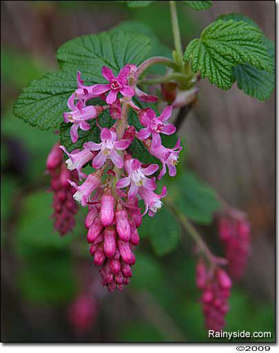 Shrubs Hummingbirds And Early Spring On Pinterest