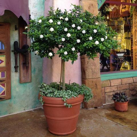 Double Blooming Gardenia Tree In 2020 Gardenia Trees Fast Growing Trees Growing Tree