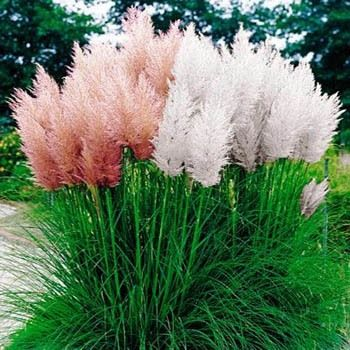 """PAMPAS GRASS seeds - ORNAMENTAL & DECOR Perennial, Zones 7 - 10 -(500 Seeds) - BLOOM TIME: Late Summer - HARDINESS ZONE: 7 - 10 - PLANT HEIGHT: 96 - 144"""" . . . PLANT SPACING: 24 - 36"""" - LIGHT REQUIREM"""