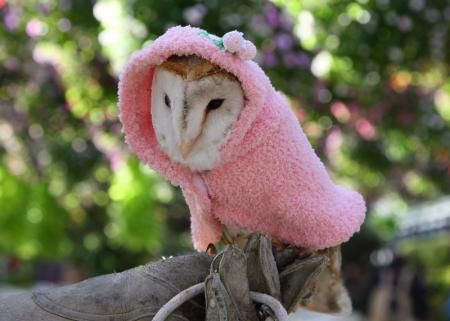owl in cape