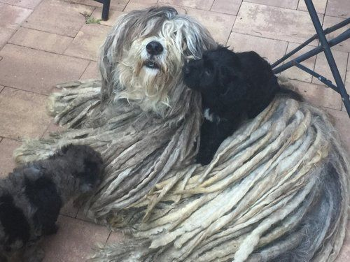 Breeders Bergamasco Sheepdog Club Of America Sheepdog Fluffy