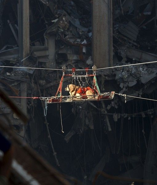 A Golden Retriever rescue dog keeps his cool as he is transported out of the debris of the World Trade Center four days after the attack
