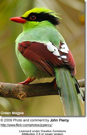 Green Magpie: Birds Birds, Magpie Cissa, Magpie Bird, Bird S, Beautiful Birds, Animals Birds, Green Magpie