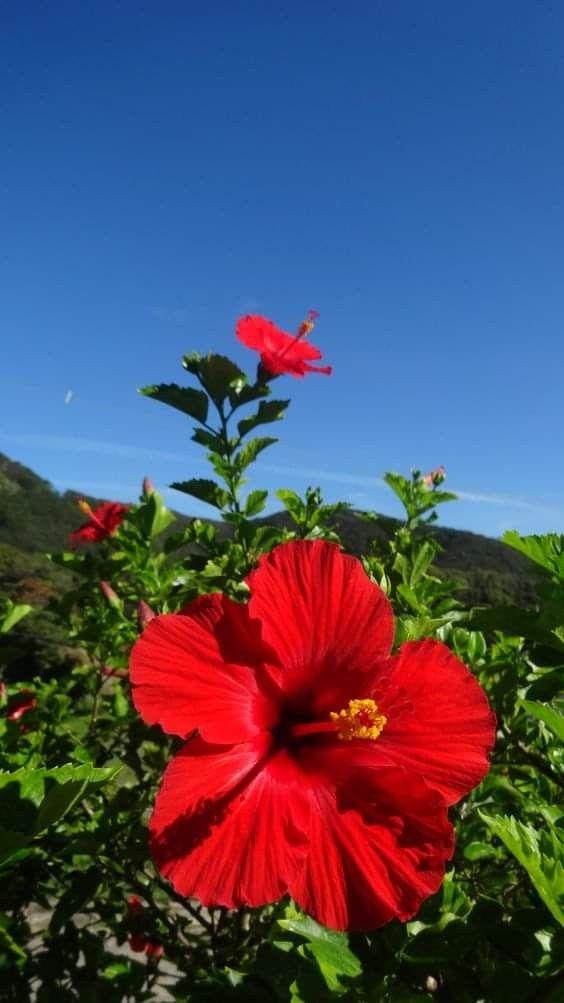 Pin By Magali Cantero On Sfondi Flower Aesthetic Beautiful Flowers Hibiscus