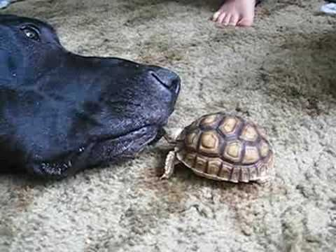 Sulcata Tortoise vs. Great Dane and Human Boy