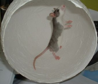 Ratte im Luftbalon