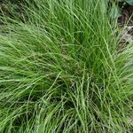 "Carex socialis 'Coahoma'.  Pt sun-pt shade.  Grows to 10""X2'.  Nice textural effect with hostas and ferns."