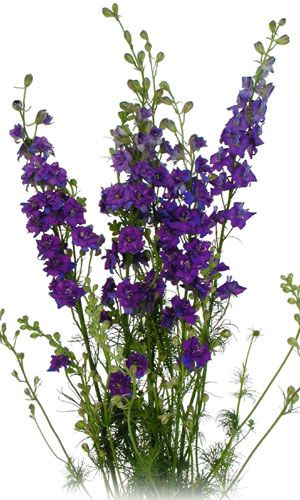 Purple larkspur.  Can't do without it! It will seed down very well too. Just wait until the seeds have turned black and drop them where you need filler next Spring. I don't even cover the seed.