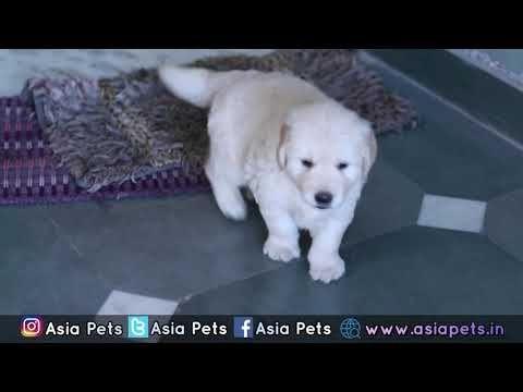 Golden Retriever Puppy For Sale Heavy Bone With Papers Asia Pets In Retriever Puppy Golden Retriever Service Dog Puppies For Sale