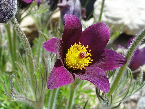 Pulsatilla rubra @ Jardin Alpin du Col du Lautaret #PulsatillaRubra #Flower #Lautaret #JardinAlpinDuColDuLautaret #Provence #France
