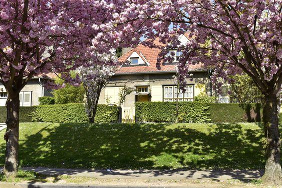 cerisier-arbre-printemps