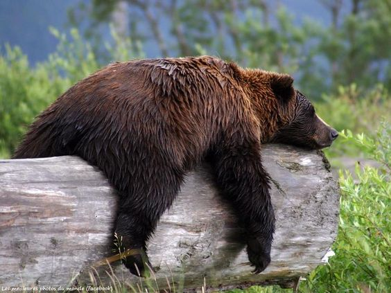 Grizzly Bear  Photograph by Carol Bock