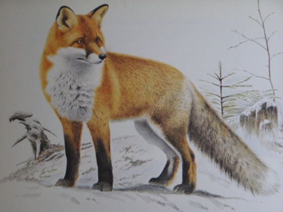 Vintage Illustration of a Fox by Staffan by gothenburgcollection