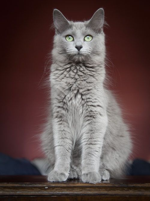 Russian Blue Cats Long Hair Neiberlung Morgaine No Cattery Listed
