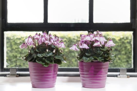 Portal Multiflora: Cyclamen hybrid 'Petticoat'