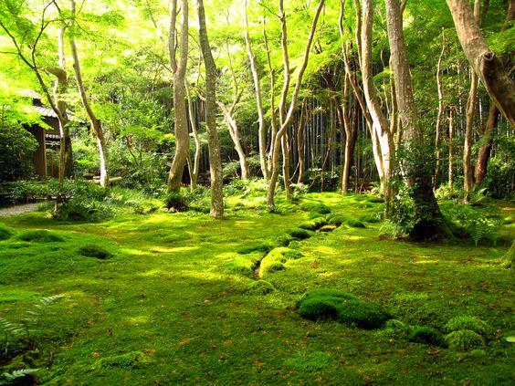 """Au japon les plus belle pelouses de mousse se situe sous des """"bois"""" d'érables japonais, en des lieux relativement bien ombragés et humide l'hiver (période de pousse)."""