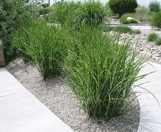 Porcupine Grass - Species: Miscanthus Sinesis 'Strictus', Zone: 5-9, Height: 6', Width: 3', Light: Sun - Shade