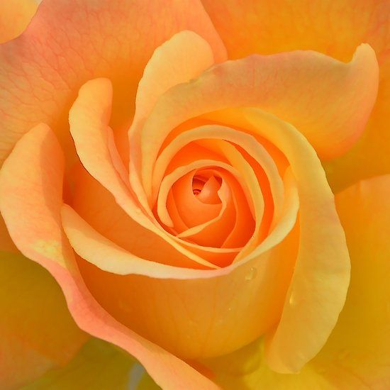 A Large Yellow Rose Flowers Plants Rose Images