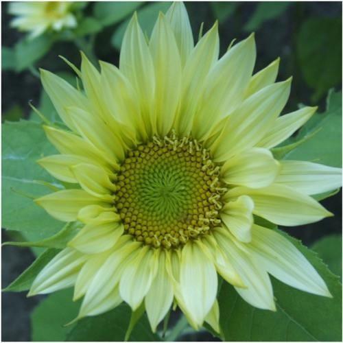 Jade Sunflower Seeds Helianthus Annuus Sunflower Sunflower Colors Flower Seeds