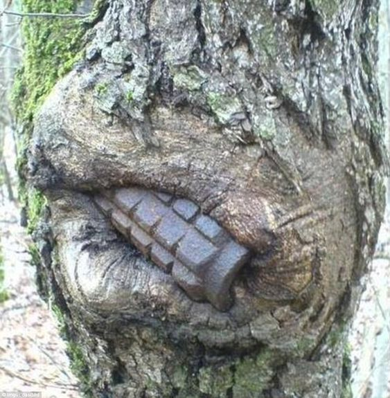 Nature versus war: How helmets, grenades and guns discarded during World War II have been swallowed up by tree trunks in Russia.