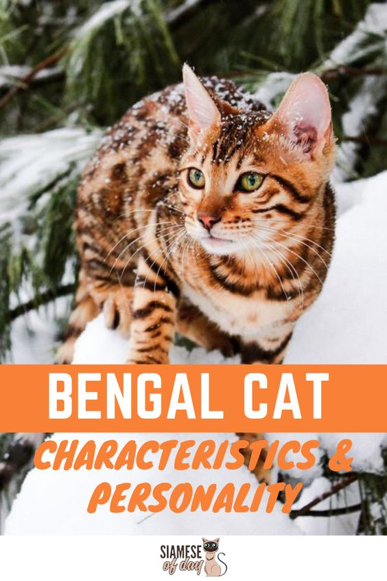 Bengal Cat Characteristics Personality Catbreeds Find Out