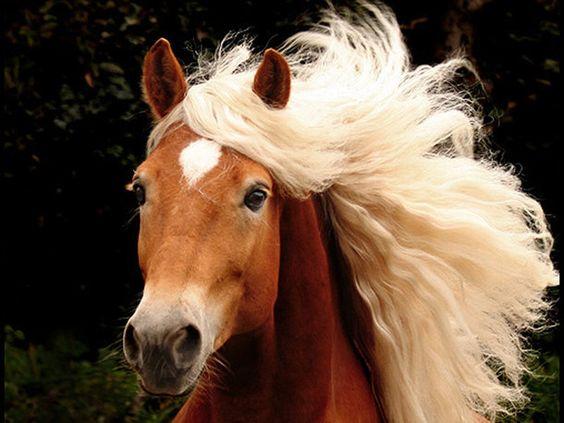 Pretty blonde Haflinger