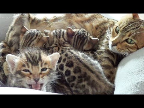 Mother Bengal Talking To Her Cute Meowing Kittens Youtube In 2020 Kittens Kittens Cutest