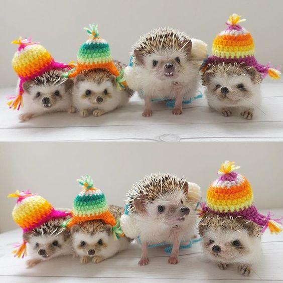 * Let's prepare a hat and an earmuff for winter * あれ?私だけみんなと違うの? あったかいのは一緒だからいいか * @matthewthehedgehog マシューくんのハリチューヨ * #コニー #ポチャドルコニー #はりねずみ #ハリネズミ #針鼠 #ヨツユビハリネズミ #ヘッジホッグ #ペット #ふわもこ部 #モフモフ #hedgehog #pygmyhedgehog #lovelypet #cuteanimals #hedgehogfamily #hedgie #Hérisson #igel#riccio #Erizo #고슴도치 #刺猬 #pecotv
