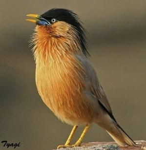 Brahminy Starling by sylvia alvarez