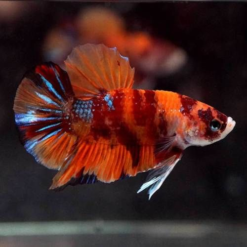 Live Betta Fish Fancy Nemo Koi Halfmoon Plakat Hmpk Male 526 Betta Betta Fish Fish
