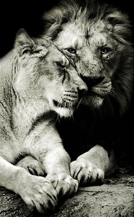 photo de lion et lionne en noir et blanc lions pinterest beautiful ange et couple. Black Bedroom Furniture Sets. Home Design Ideas